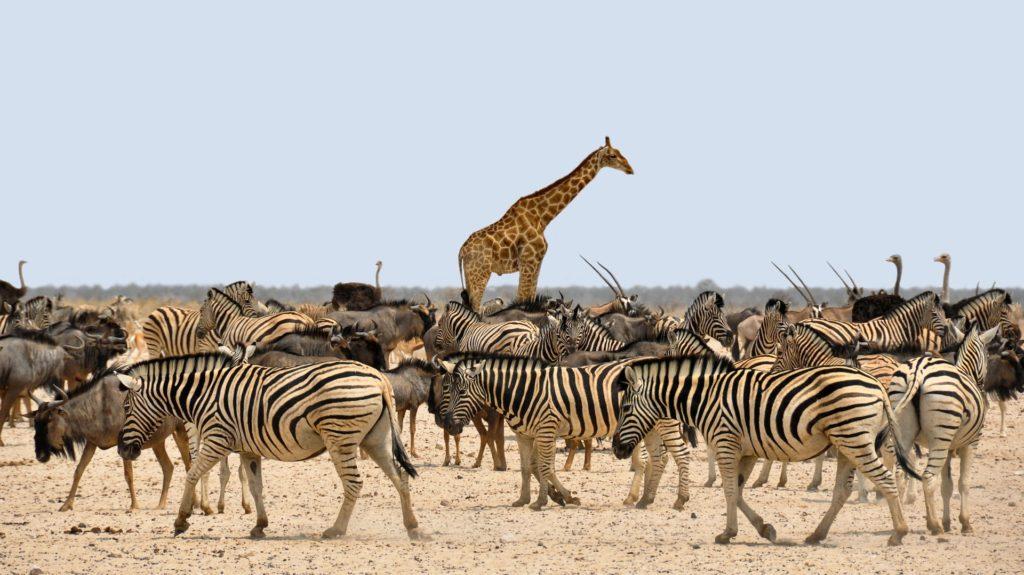 zebra-Cizgileri